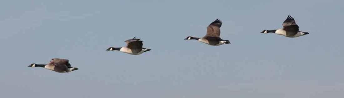 geese-1024x293-crop