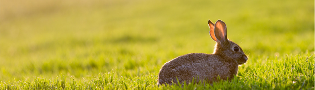 wild-rabbit-1024x294-crop
